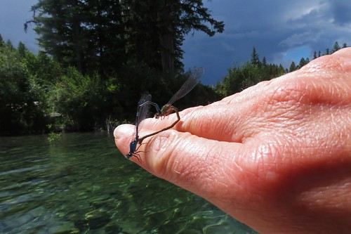 Blue Damselfly LOVE HEART!