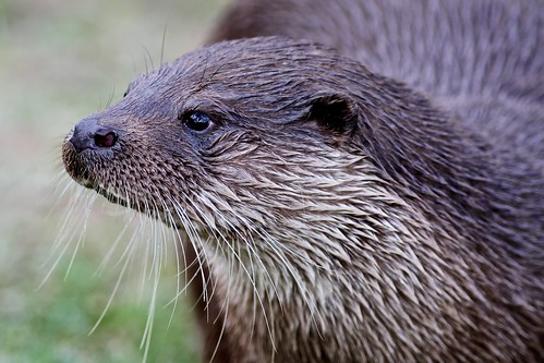 Otter by McShug