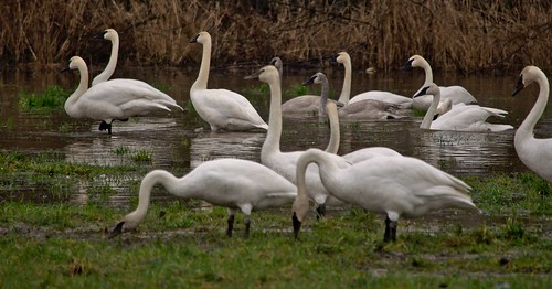 A Group of Trumpeter Swans