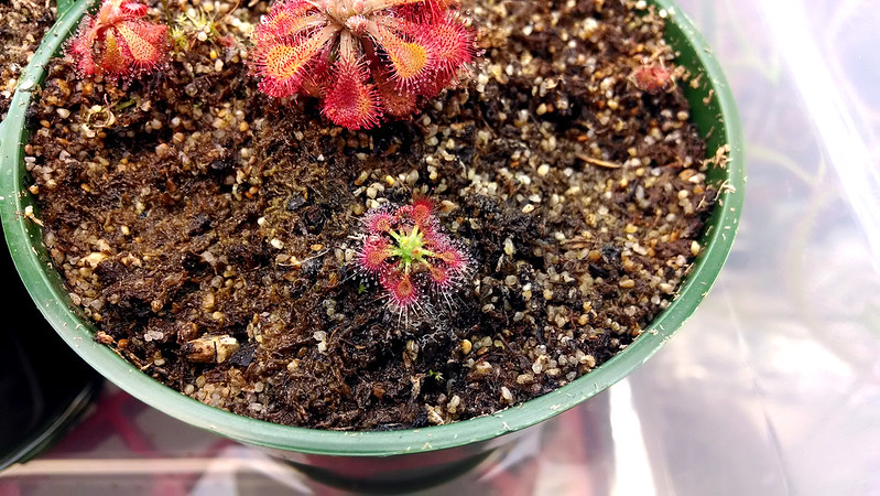 Drosera allantostigma in mixed pot.