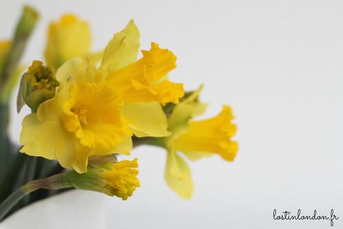 daffodils jonquilles