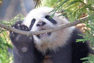 Bao Bao In The Larch Tree: The Teeth