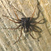 Small photo of Lycosidae. Male. ( Pardosa sp.)