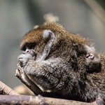 Bolivian Gray Titi Monkey