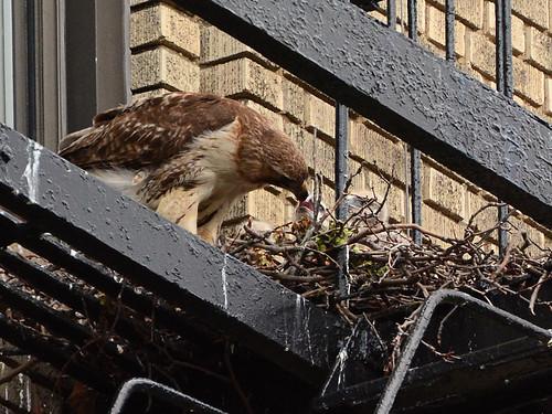 JHW Hawk Nest (9030)