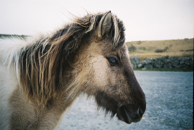 Pony on Dartmoor - Bellever Tor