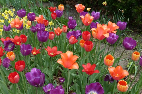 Multicolored tulips