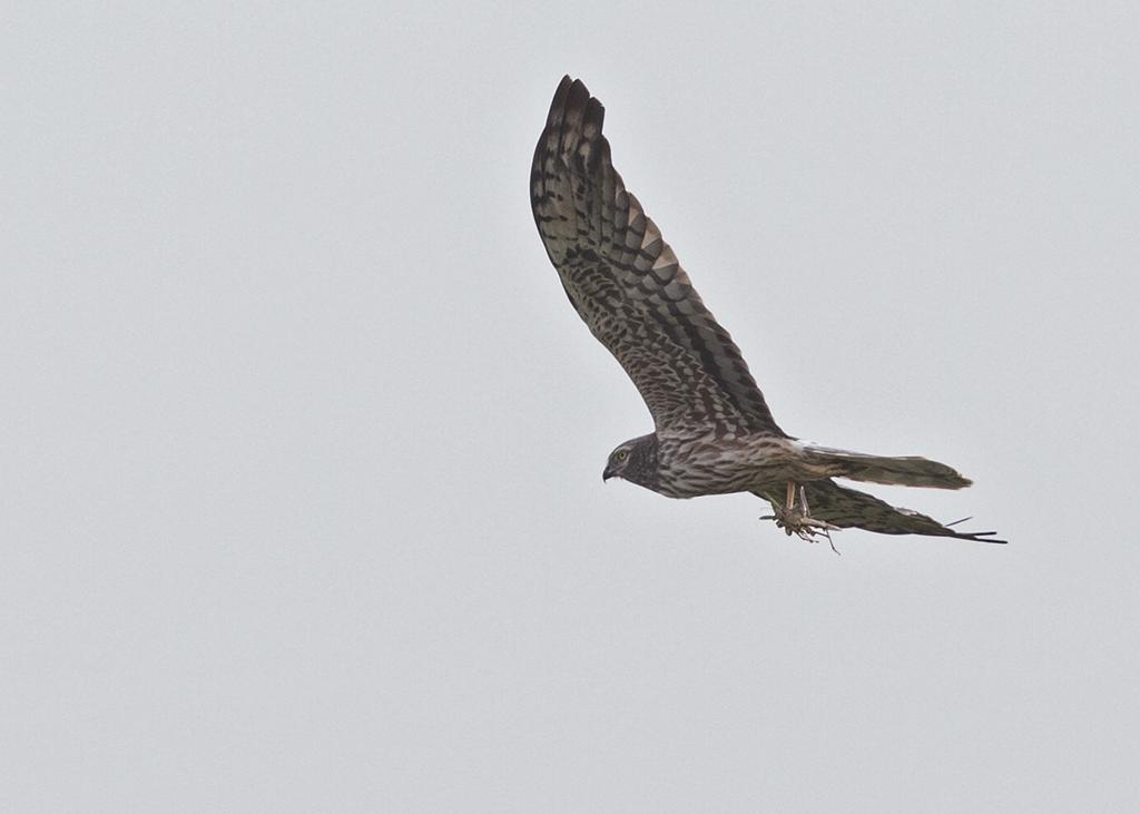 Montagu's Harrier Gambia