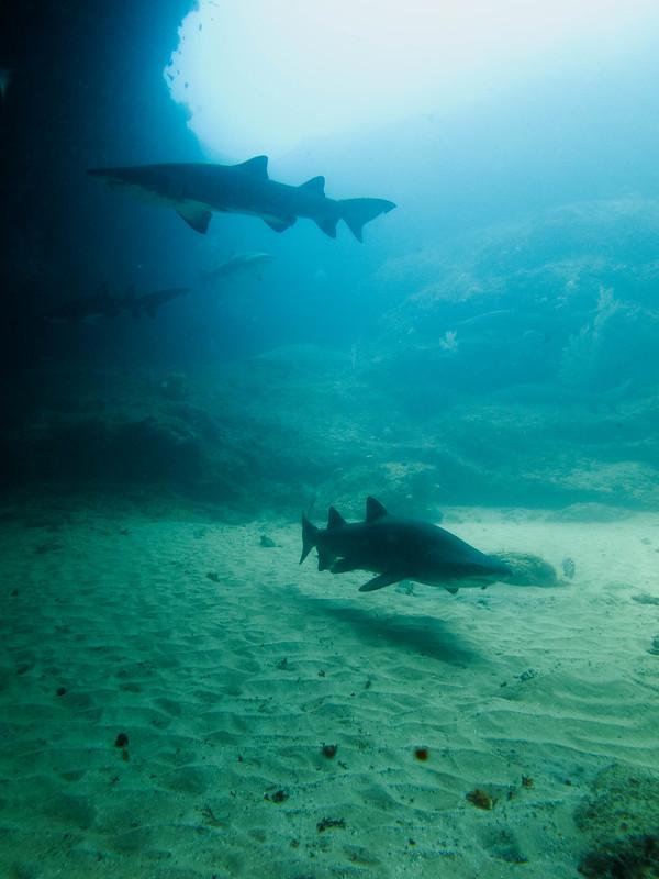 Sandtiger Shark, Aliwal Shoal, Sør-Afrika