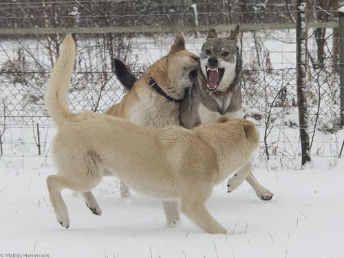 Yuma laat zijn tanden naar Snowy zien