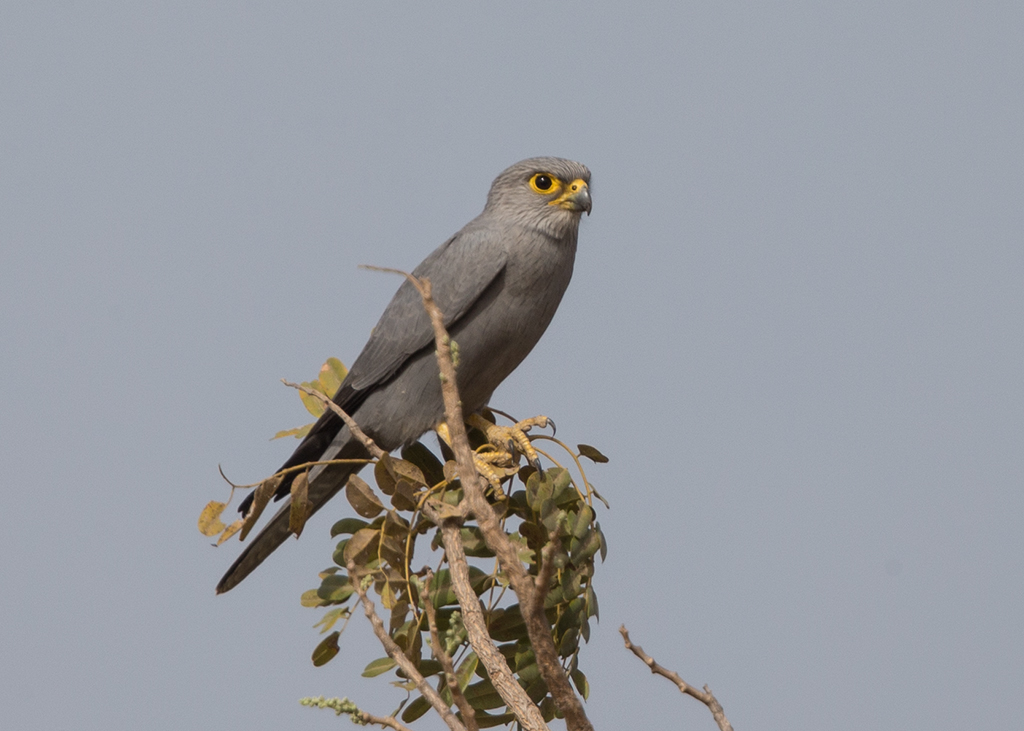 Grey Kestrel   Gambia