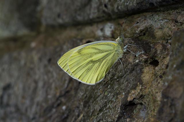Green-Veined White freshly emerged