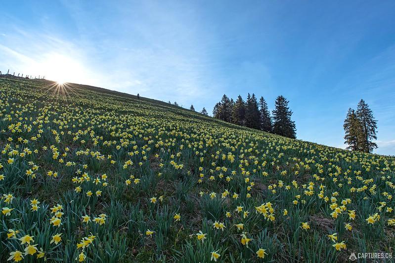 Flower field 1 - Vue des Alpes