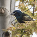 Common/Bronzed Grackle (versicolor) by Jerry Ting