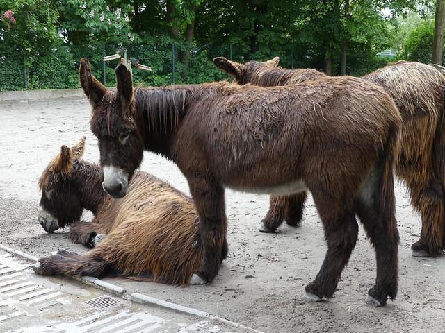 Poitou-Esel, Zoo Heidelberg