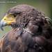 Eagle by Dr. Ilia
