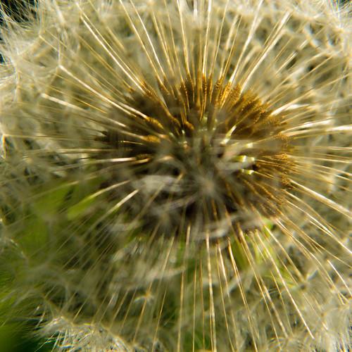 Going ... Dandelion seed