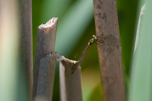 Large red damselfly female, moving to far side of leaf