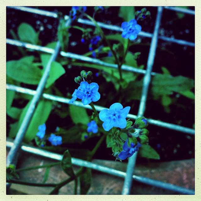 Forget me nots #forgetmenot #garden #patiogarden #flowers #anticatdevice