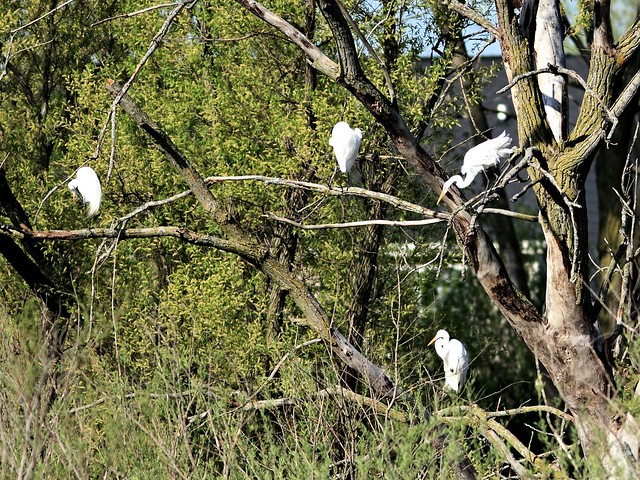 Great Egrets 20130507