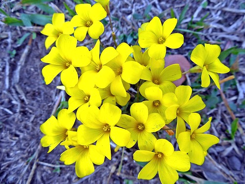ocas amarillas