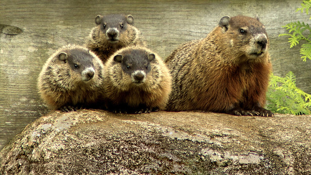 GROUNDHOG Family is Awake and Grumpy