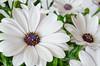 Osteospermum's by Andrew Mayne Photography