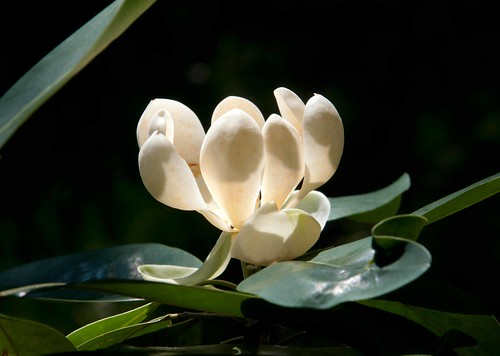 Magnolia virginiana var australis 'Henry Hicks' Sw S03870 A 6-15-13 9027 lo-res