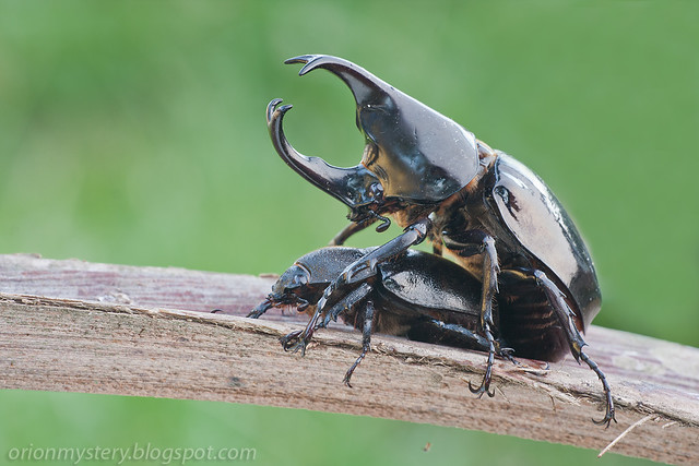 mating siamese rhinoceros beetle Xylotrupes gideon IMG_8165 copy