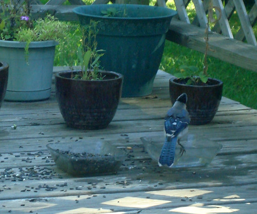 Bathing Blue Jay (1)