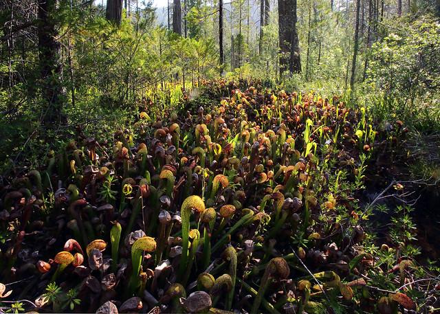 Carnivores et orchidées in situ  9220874018_4486092051_z