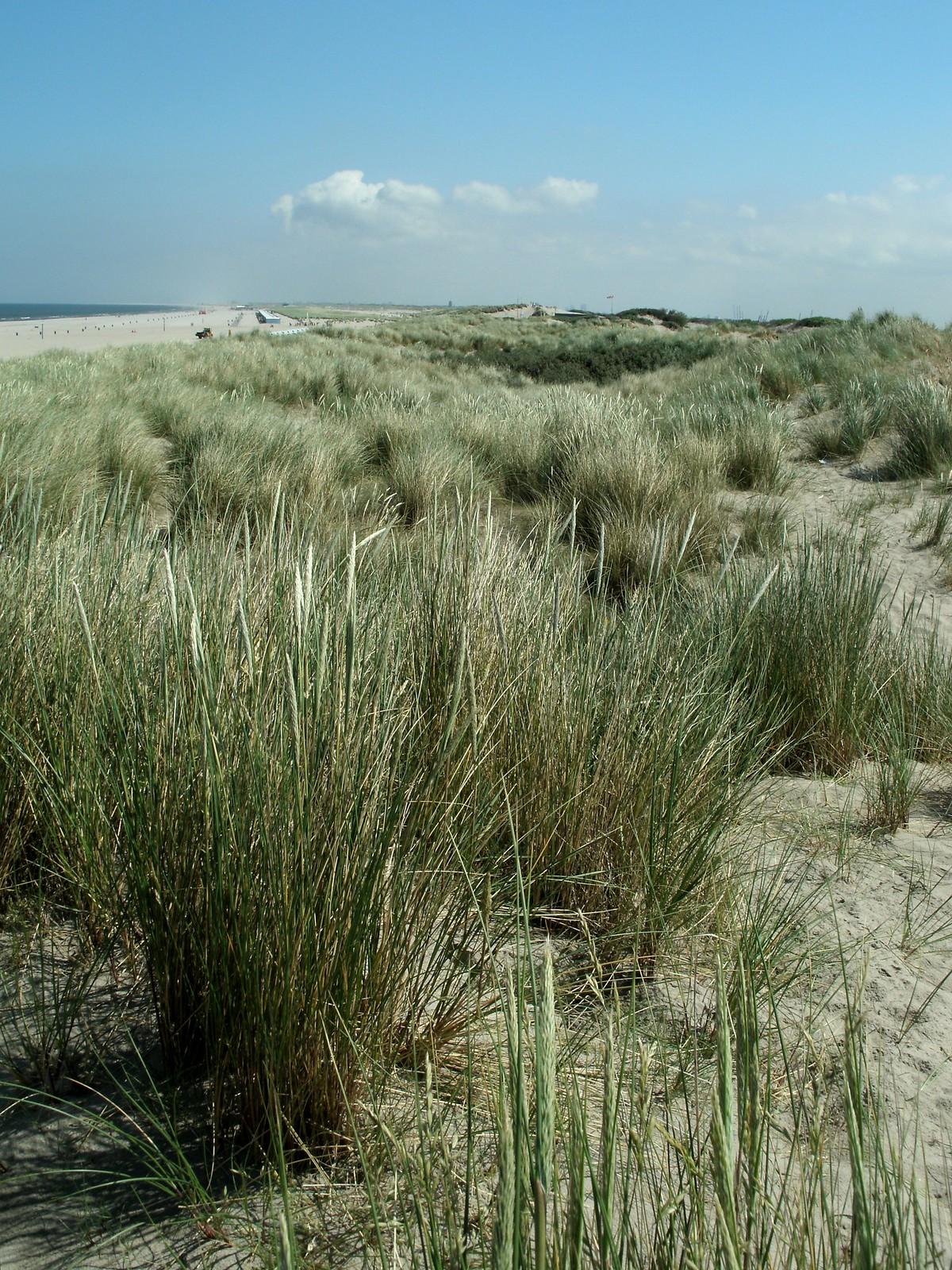 Pale green vegetation in the dunes of Hoek van Holland.