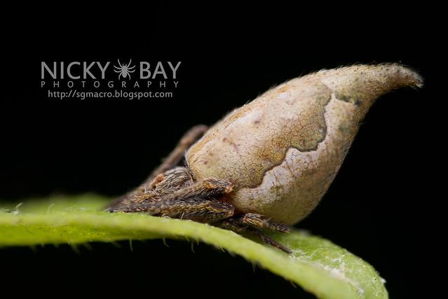 Garden Spider (Eriovixia pseudocentrodes) - DSC_9304