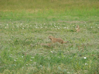 28 prairiedogs