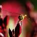 Libelle mag Oleander by gutlaunefotos ☮