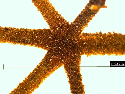 Tabebuia ochracea (Cham.) Standl.