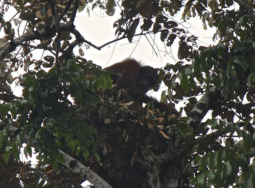 spotted: wild orangutan high up in the tree