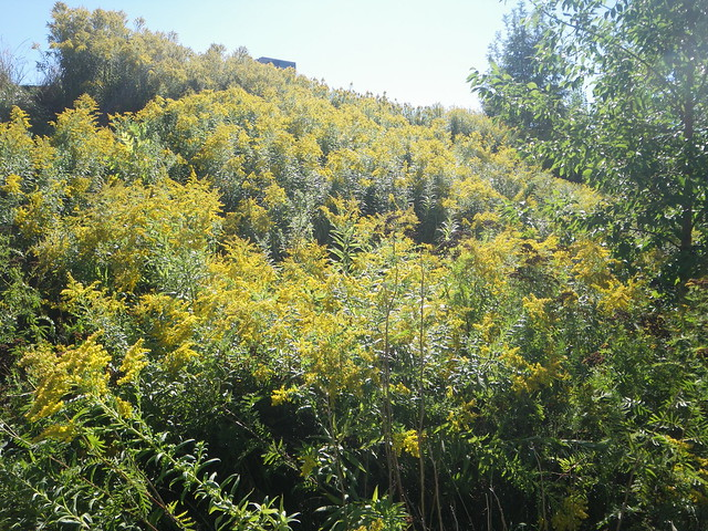hill of goldenrod