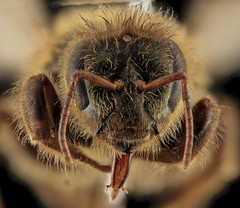 Apis mellifera, Queen, face, MD, Talbot County_2013-09-30-17.40.47 ZS PMax
