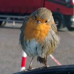 Friendly robin at The Green Welly Stop
