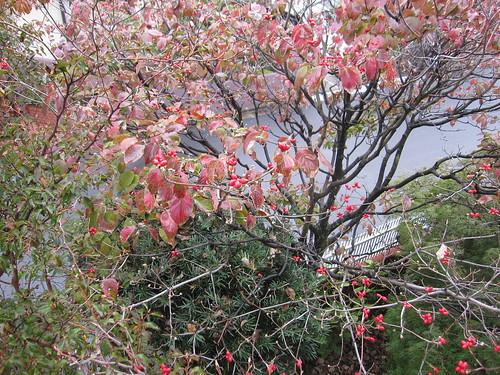葉がどんどん散っていきます・・ハナミズキ 2013.11.4 by Poran111