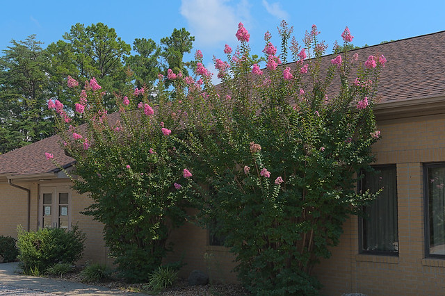 Saint Anthony Roman Catholic Church, in Glennon, Missouri, USA - flowering bush outside of parish hall