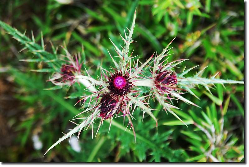 玉山薊 1