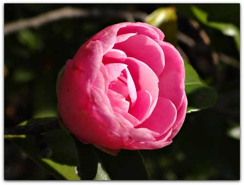 """""""The camellia flower is called """"The Empress of the Winter""""."""""""