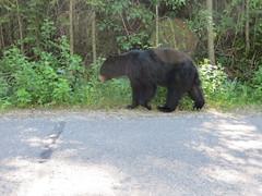 animal, american black bear, mammal, grizzly bear, fauna, bear, wildlife,