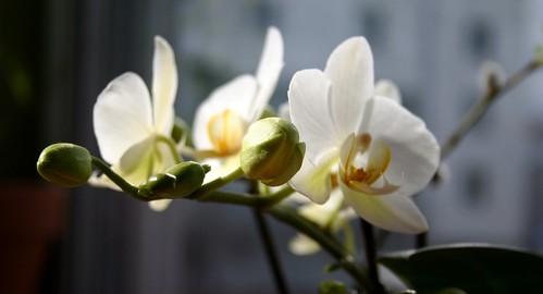 White flowers I