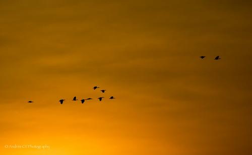 sunset nature birds sunrise landscape atardecer nikon scenery colombia wildlife silhouettes paisaje scene ibis silueta birdwatching tolima d600 espinal arrocera andrescv