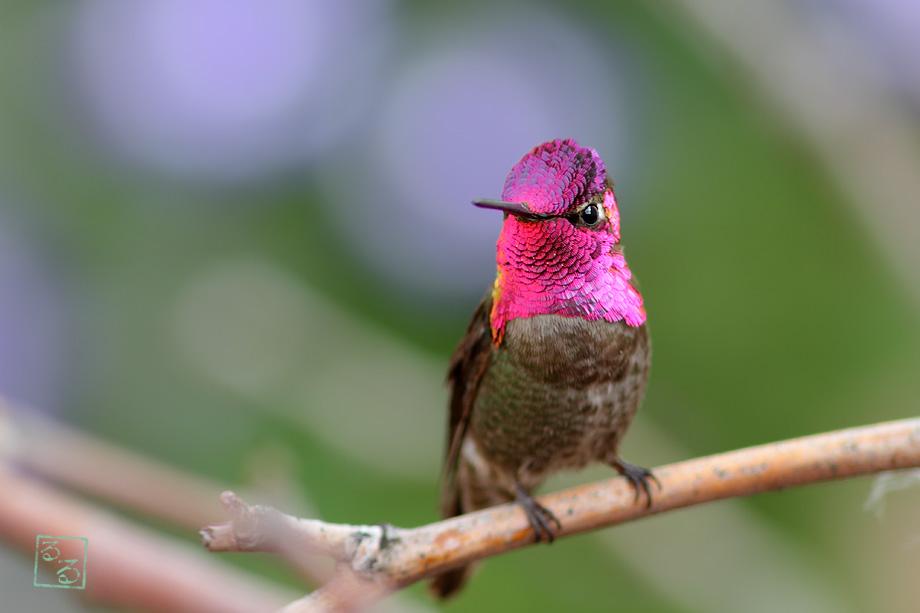 Anna's-Hummingbird-040314-2