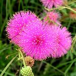 Mimosa-quadrivalvis
