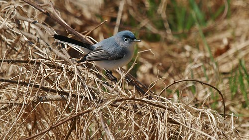 Blue-gray Gnatcatcher (male)